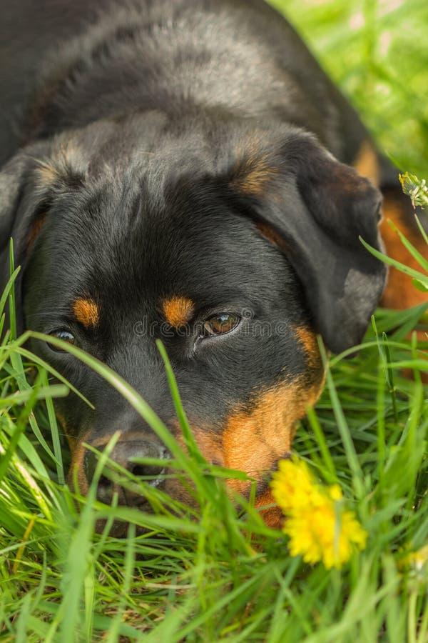 De Rottweilerhond ligt in openlucht onder het groene gras royalty-vrije stock fotografie