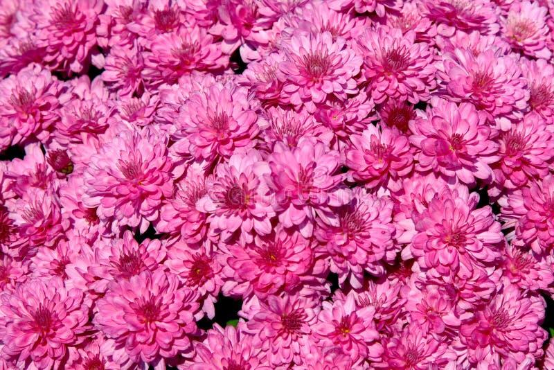De roze Achtergrond van de Chrysant stock afbeelding