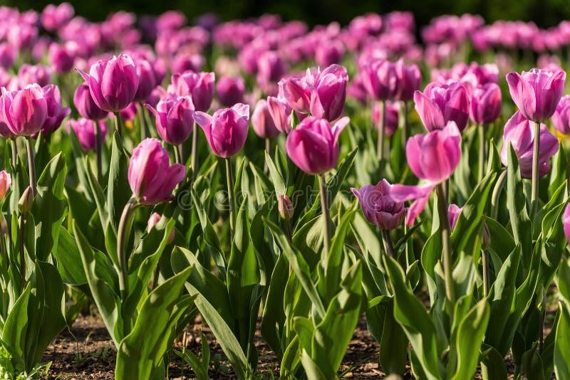De roze achtergrond van tulpenbloemen stock afbeelding