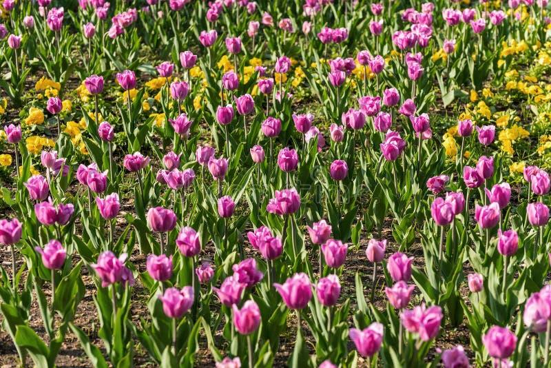 De roze achtergrond van tulpenbloemen royalty-vrije stock foto