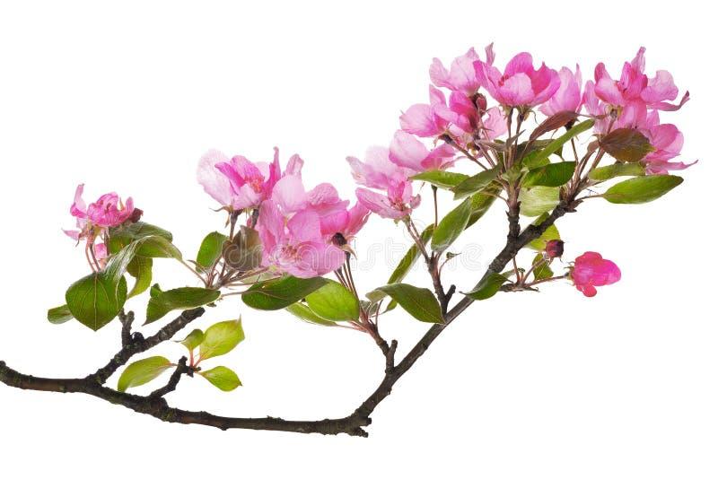 De roze appelboom isoleerde bloementak royalty-vrije stock foto