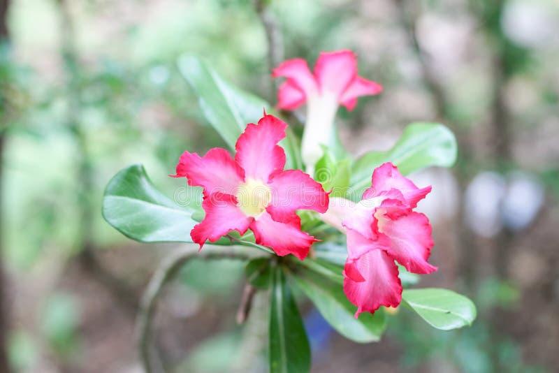 De roze azalea is bloeiend in het park stock foto's