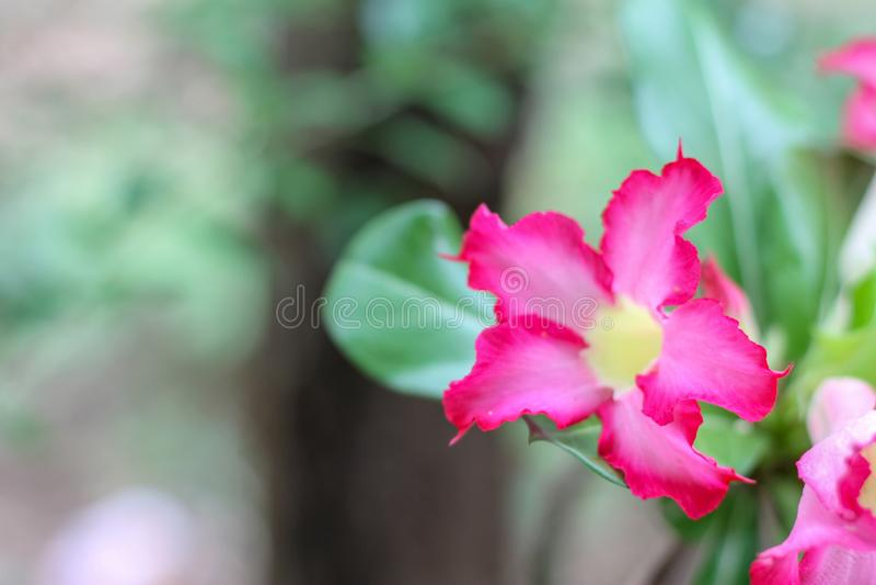 De roze Azalea is bloeiend in de tuin Gebruikt als heldere achtergrondafbeelding royalty-vrije stock afbeeldingen