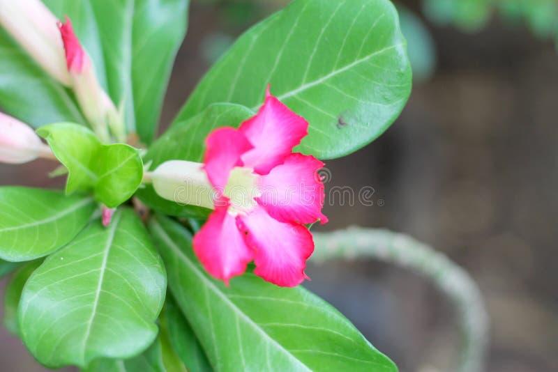 De roze azalea is bloeiend in de tuin met groene bladeren royalty-vrije stock foto