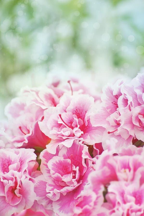 Roze azalea'sstruik stock foto's