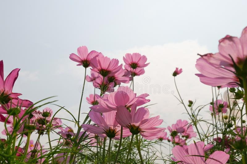 De roze bloeiende achtergrond van de kosmosbloem royalty-vrije stock foto