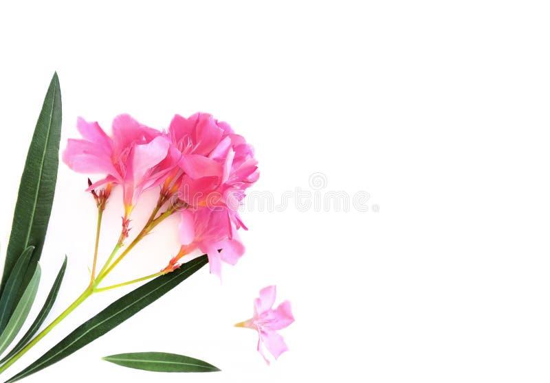 De roze bloeiende boom en de bladeren van de bloemenoleander op een wit canvas isoleerden achtergrond, een kader van installaties stock foto