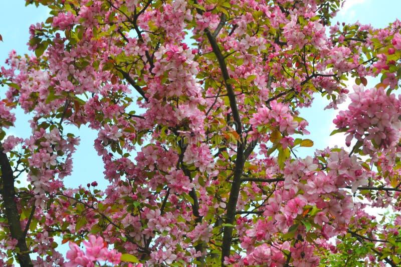 De roze bloeiende Japanse bloesem van kersensakura in zonnige de lentedag stock afbeeldingen