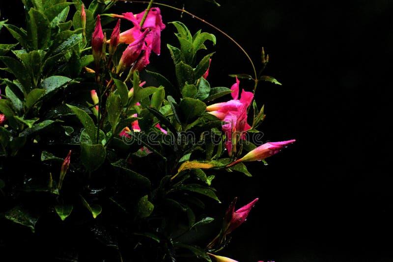 De roze bloem hangt in een mand en speelt een rol in het aantrekken van Kolibries stock foto's