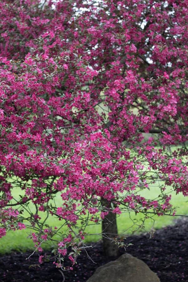 De roze bloem komt boom in Metroparks tot bloei stock afbeelding