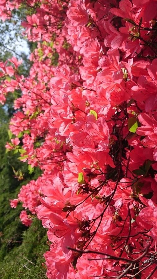 De roze bloem van de Azalea royalty-vrije stock fotografie