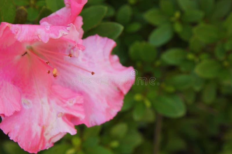 De roze bloem van de Azalea royalty-vrije stock afbeelding