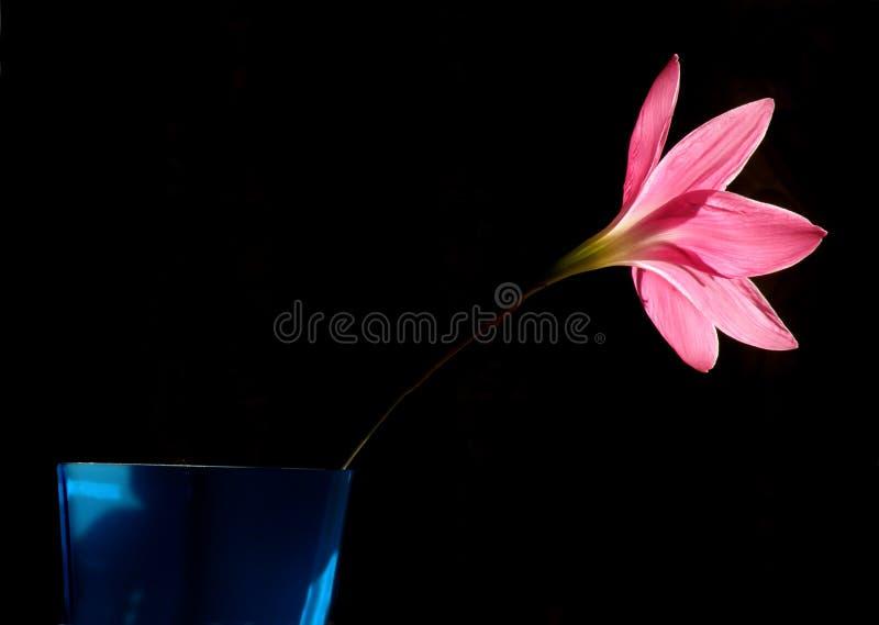 De roze bloem van de Lelie in bloei stock fotografie