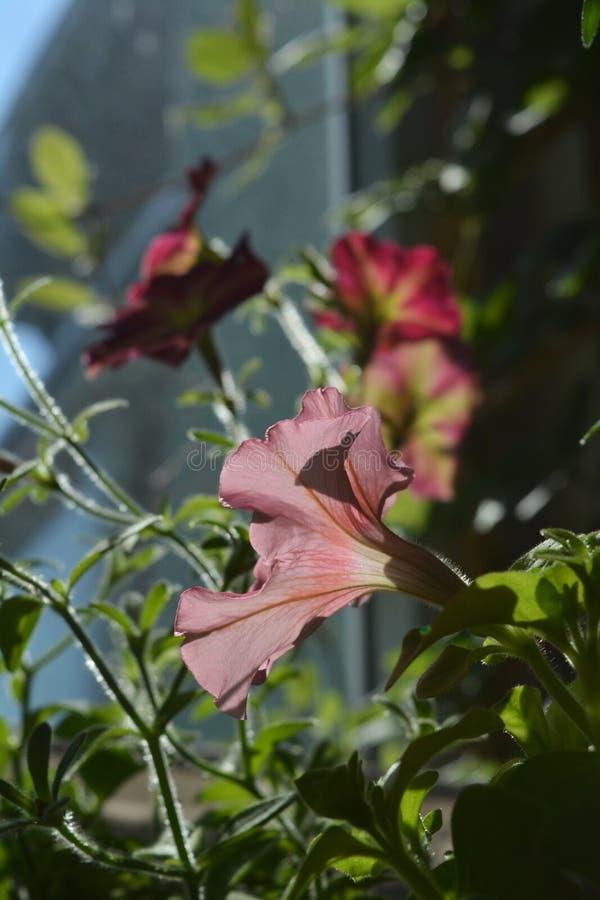 De roze bloem van petunia wordt aangestoken door de zon close-up stock foto