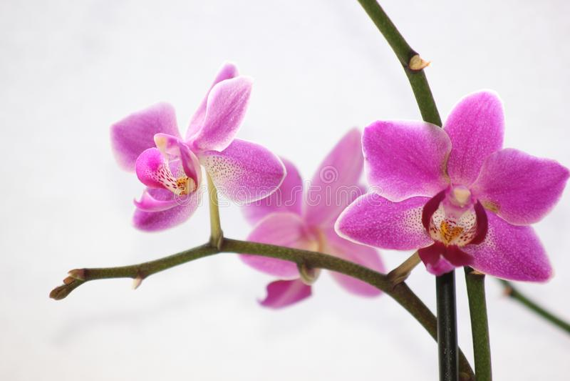 De roze bloem van de phalaenopsisorchidee stock afbeeldingen
