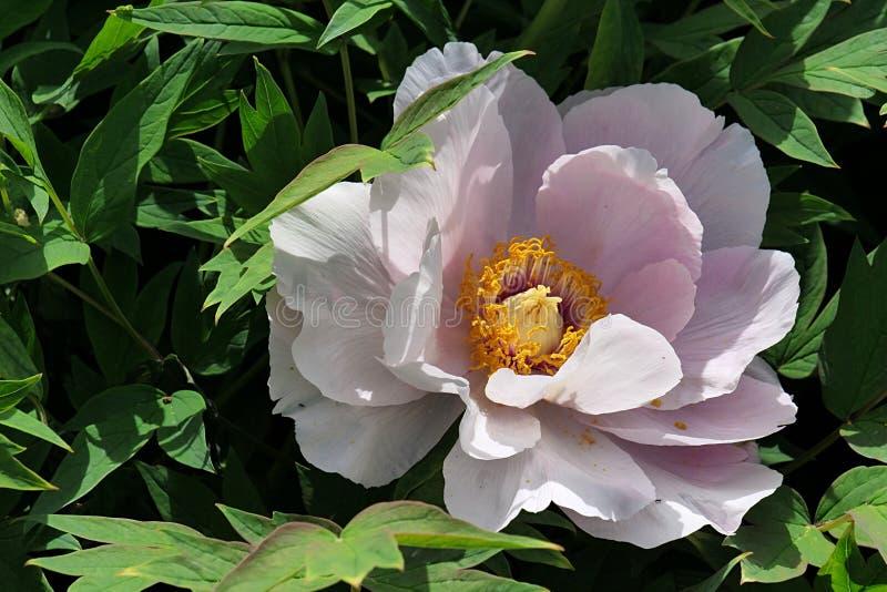 De roze bloem van Pioenpaeonia in volledige die bloesem, half in bladeren wordt verborgen stock fotografie