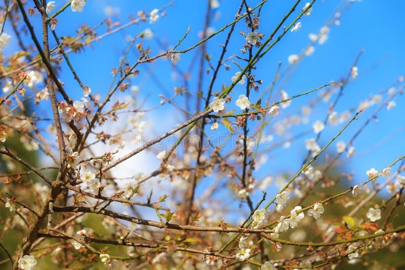 De roze bloem van Thailand Sakura in Chiang Mai, Thailand, Wilde Himalay stock afbeeldingen