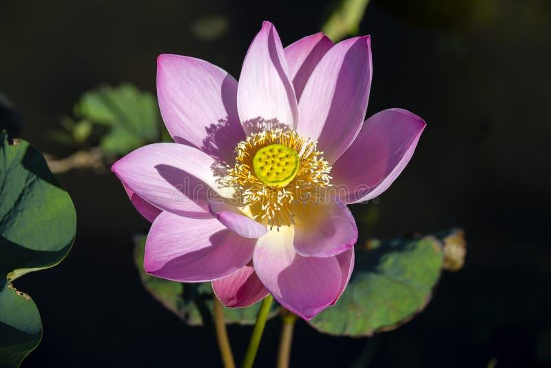 De roze Bloem van de Waterlelie Lotus-bloem in eiland Bali, Indonesië stock foto