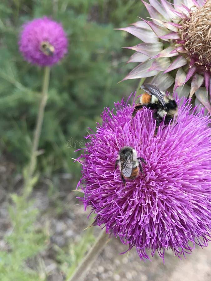 De roze Bloemen met stuntelen Bijen stock fotografie