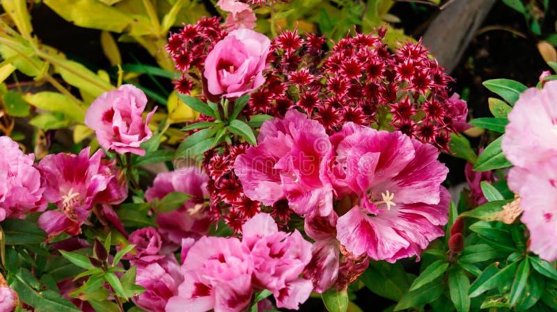 De roze bloemen op een bed in de zomer tuinieren door Clarkia en Floxdrummondii royalty-vrije stock afbeeldingen