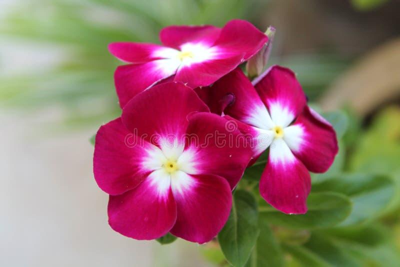 De roze bloemen sluiten omhoog royalty-vrije stock afbeelding