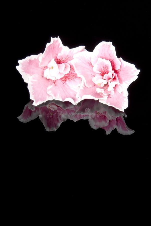 De roze Bloemen van de Azalea royalty-vrije stock afbeelding