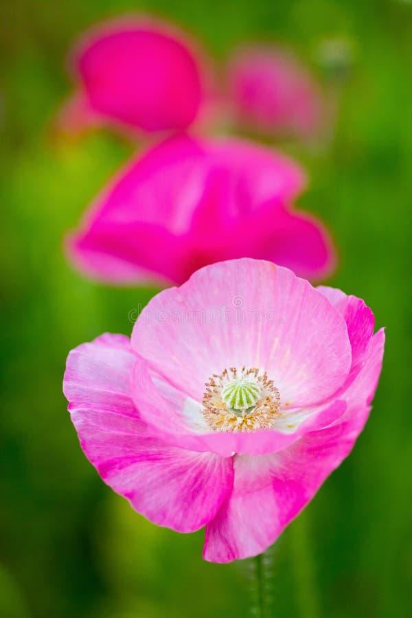 De roze bloemen van de Papaver royalty-vrije stock afbeeldingen