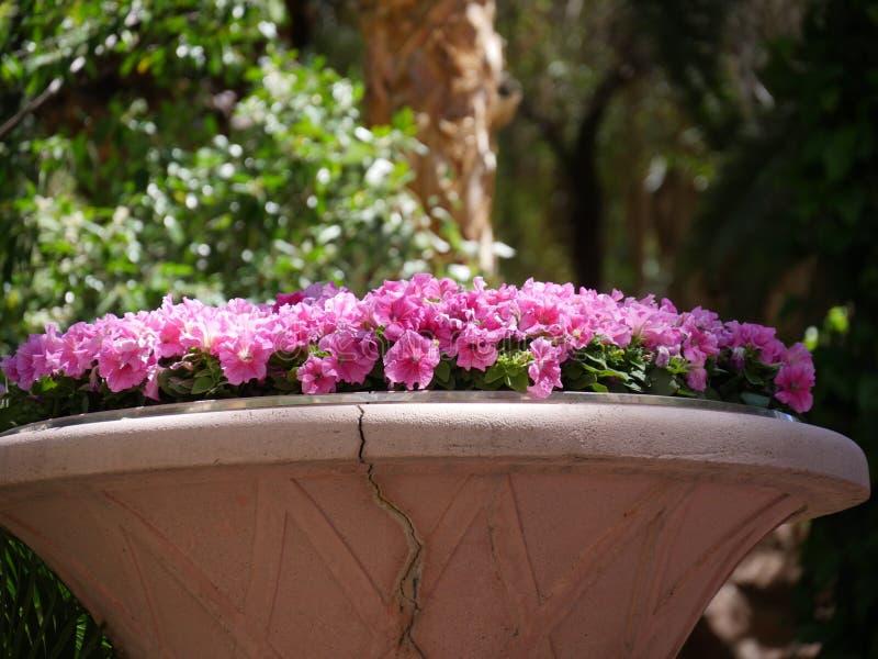 De roze bloemen van Dixie rosemallows in een tuin stock foto