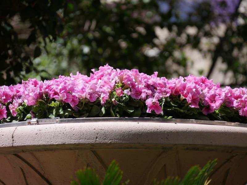 De roze bloemen van Dixie rosemallows in een tuin royalty-vrije stock foto's