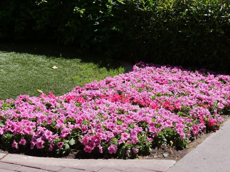 De roze bloemen van Dixie rosemallows in een tuin royalty-vrije stock foto