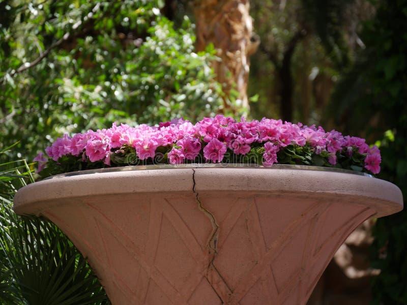 De roze bloemen van Dixie rosemallows in een tuin royalty-vrije stock fotografie