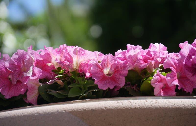 De roze bloemen van Dixie rosemallows in een tuin royalty-vrije stock afbeeldingen