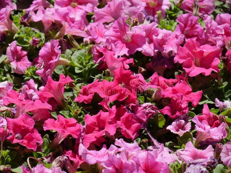 De roze bloemen van Dixie rosemallows in een tuin stock afbeelding