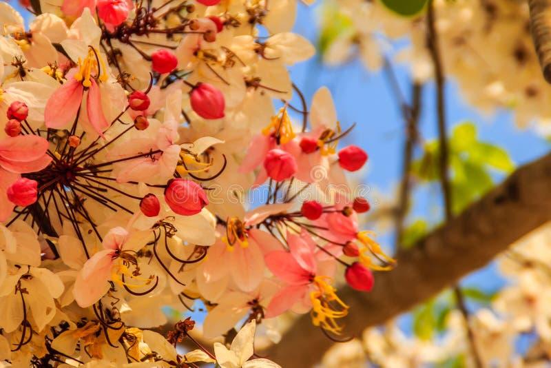 De roze bloemen van de doucheboom (Kassieboombakeriana) op blauwe hemelachtergrond Kassieboombakeriana, algemeen genoemd Wensend  royalty-vrije stock foto's