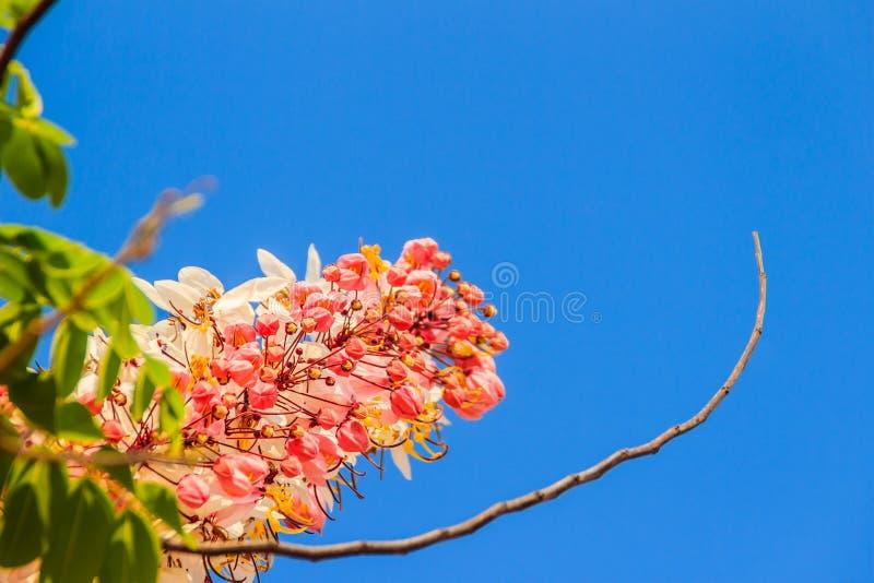 De roze bloemen van de doucheboom (Kassieboombakeriana) op blauwe hemelachtergrond Kassieboombakeriana, algemeen genoemd Wensend  stock afbeelding