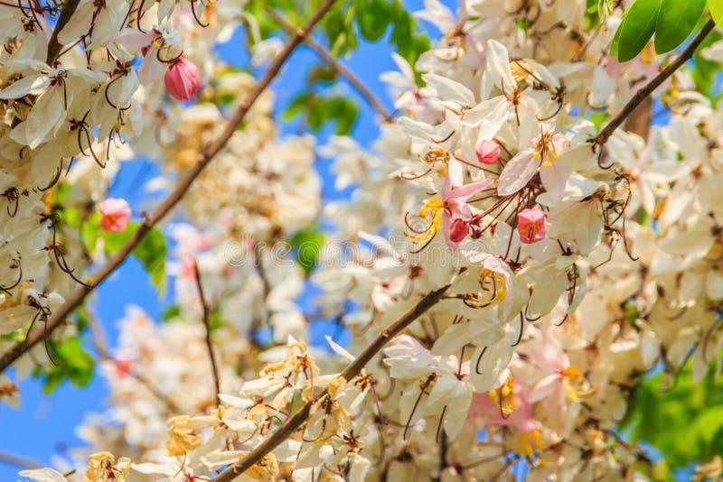 De roze bloemen van de doucheboom (Kassieboombakeriana) op blauwe hemelachtergrond Kassieboombakeriana, algemeen genoemd Wensend  royalty-vrije stock afbeeldingen