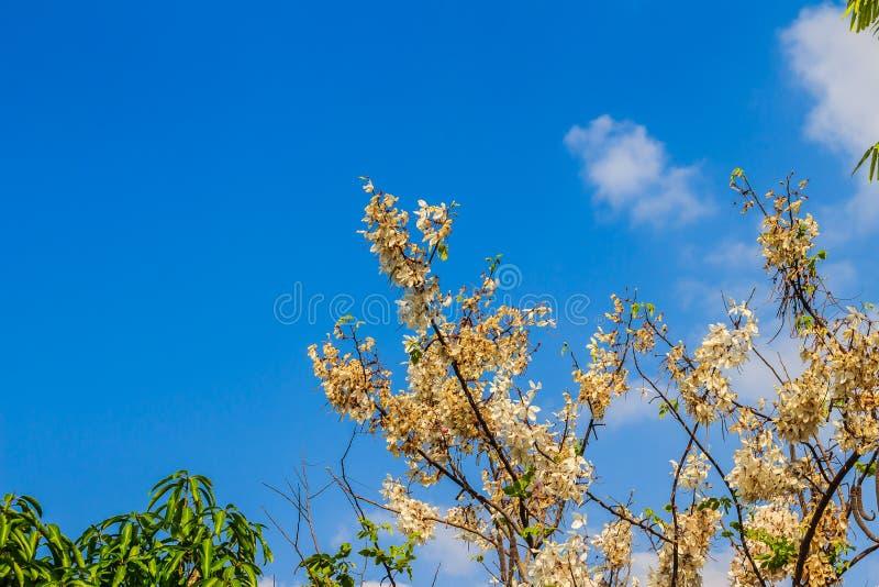 De roze bloemen van de doucheboom (Kassieboombakeriana) op blauwe hemelachtergrond Kassieboombakeriana, algemeen genoemd Wensend  royalty-vrije stock afbeelding
