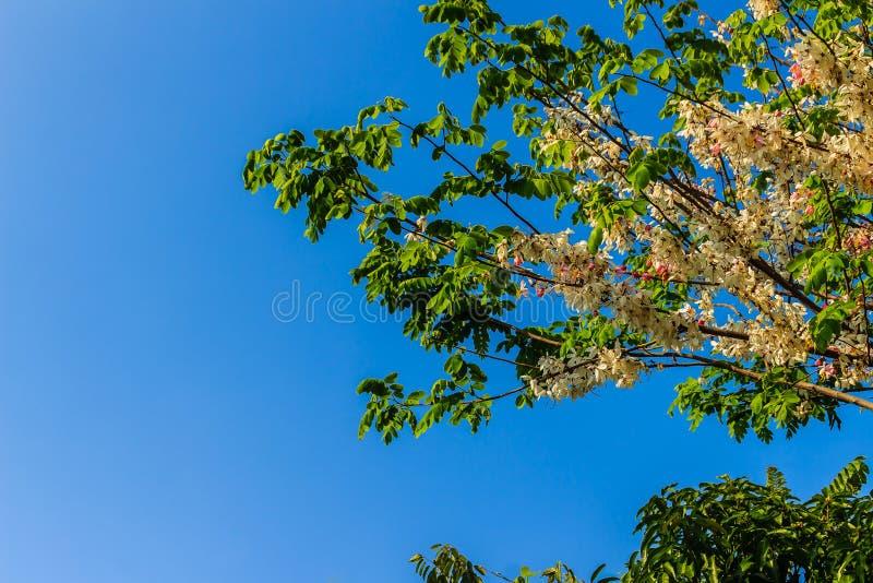 De roze bloemen van de doucheboom (Kassieboombakeriana) op blauwe hemelachtergrond Kassieboombakeriana, algemeen genoemd Wensend  stock fotografie
