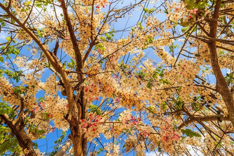 De roze bloemen van de doucheboom (Kassieboombakeriana) op blauwe hemelachtergrond Kassieboombakeriana, algemeen genoemd Wensend  stock foto's