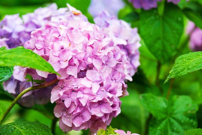 De roze bloemen van de Hydrangea hortensia stock afbeeldingen