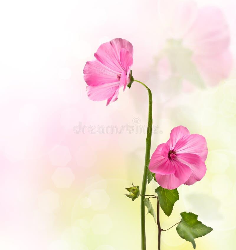 De roze bloemen van Lavater royalty-vrije stock afbeeldingen