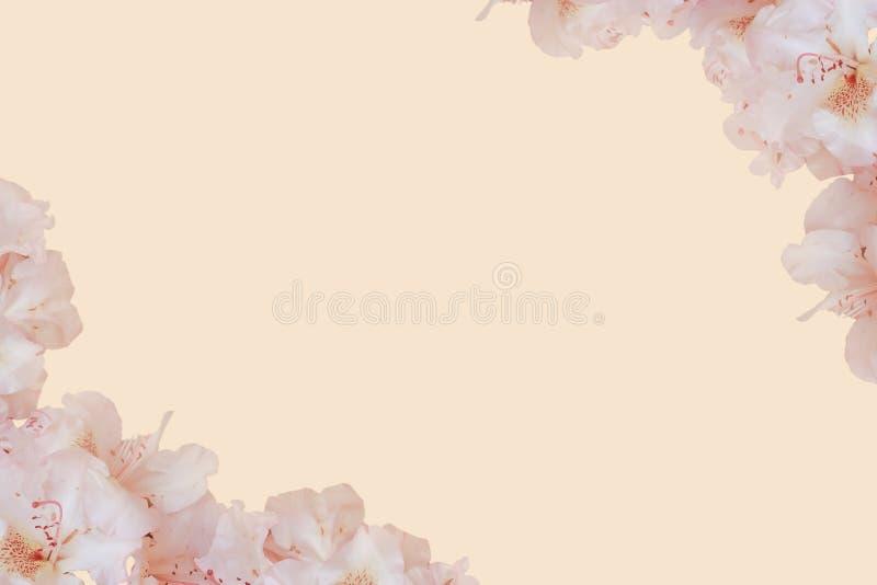 De roze bloemen van de perzikkleur springen zachte achtergrond met lege beschikbare ruimte voor tekst op royalty-vrije stock afbeelding