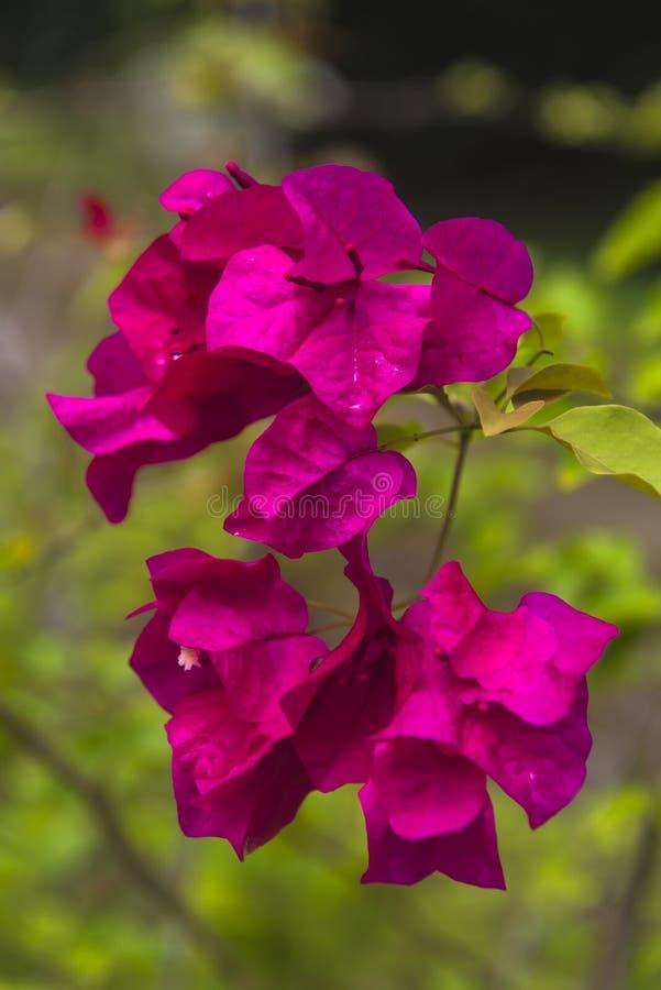 De roze bloesem van de Bougainvilleabloem in Azië stock afbeeldingen