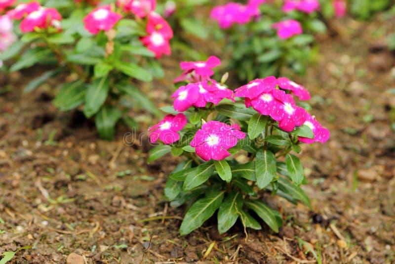Download De Roze Bloesem Van De Bloemlente In Tuin Stock Foto - Afbeelding bestaande uit aromatisch, blad: 29510616