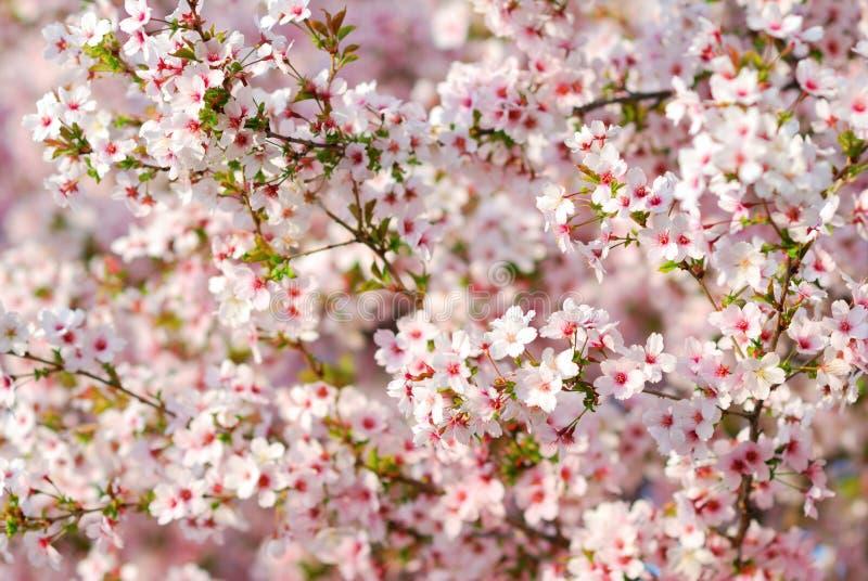 De roze bloesems van de kersenboom in de lente stock foto's