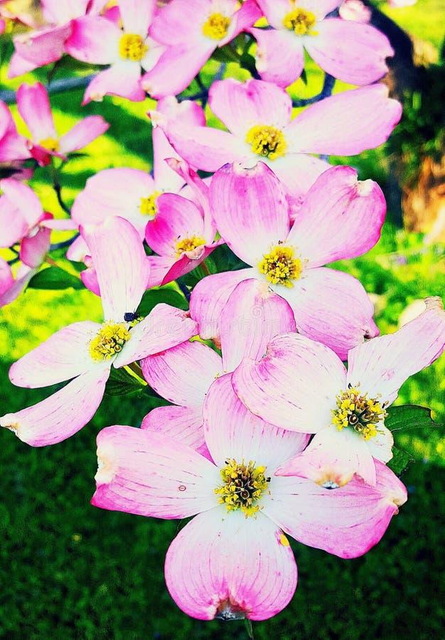 De roze Bloesems van de Kornoeljeboom in de Lente stock afbeeldingen