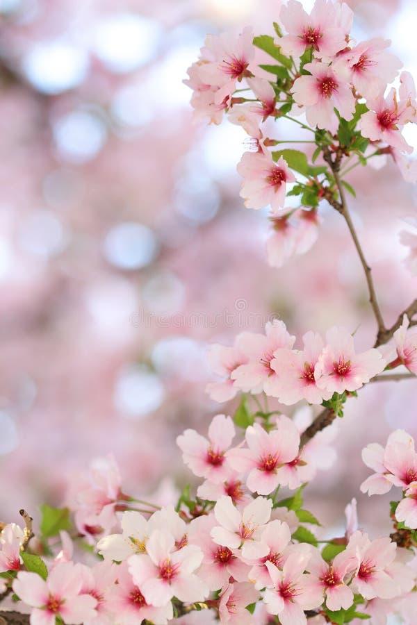De roze bloesems van de lentesakura stock fotografie