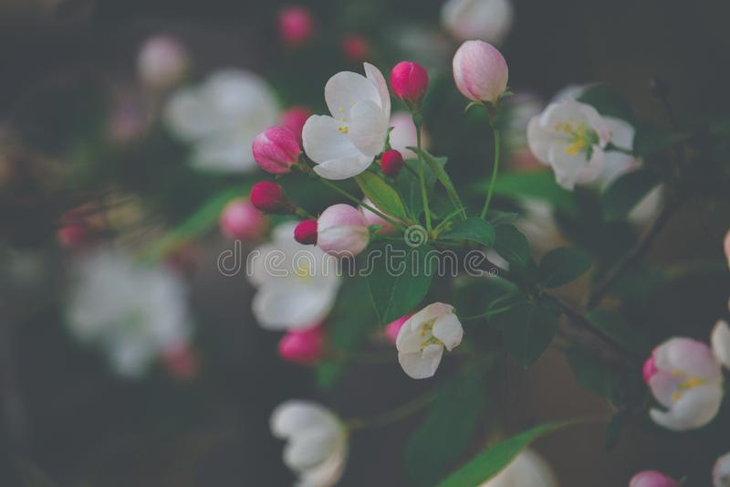 De roze bloesems van de huwelijksboom royalty-vrije stock foto