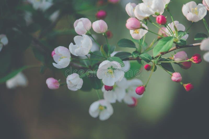 De roze bloesems van de huwelijksboom royalty-vrije stock foto's