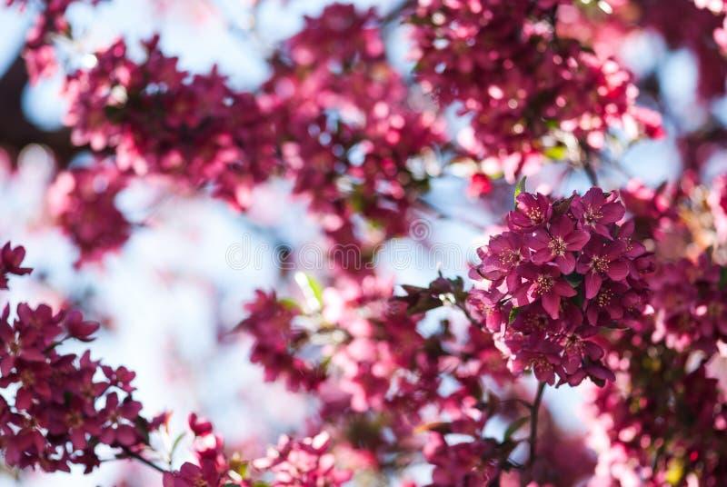 De roze Bloesems van de Lentecrabapple tegen Blauwe Hemel royalty-vrije stock afbeeldingen
